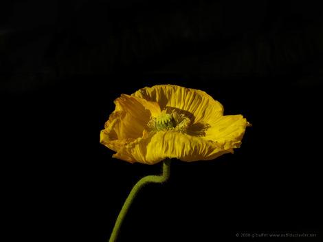 Pavot_jaune